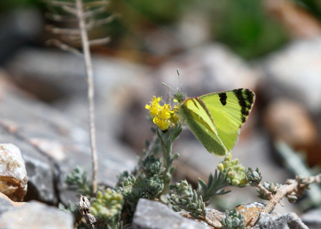Østlig gul Sorttip, Euchloe penia