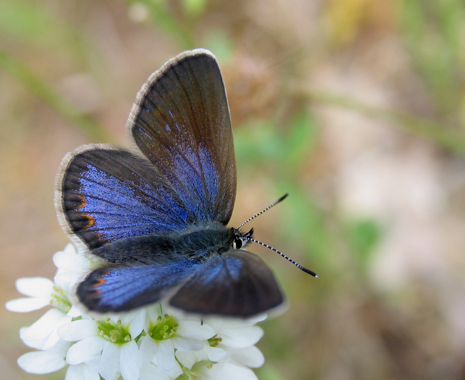 Foranderlig blåfugl, Plebejus idas