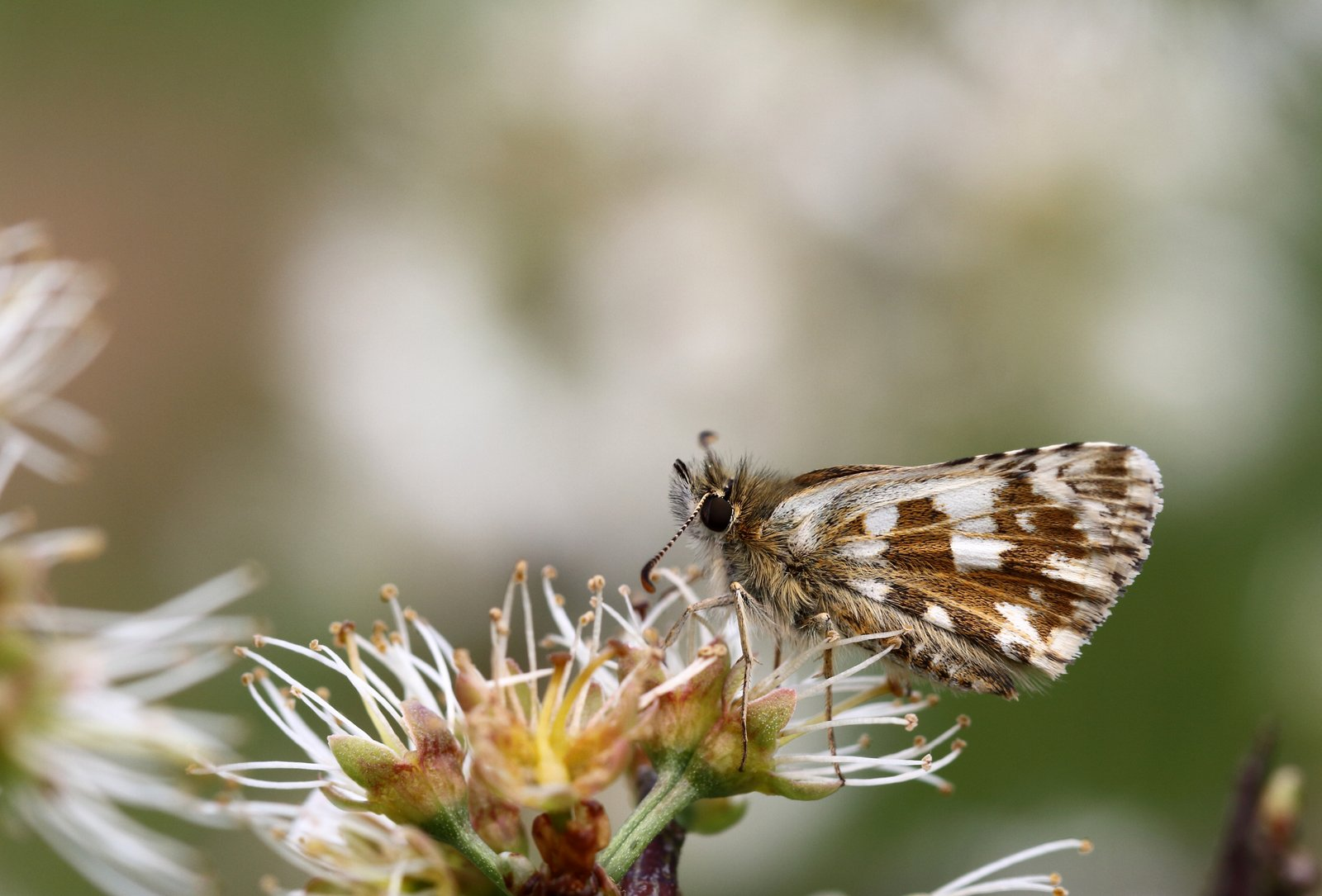 Fransk bredpande, Pyrgus amoricanus