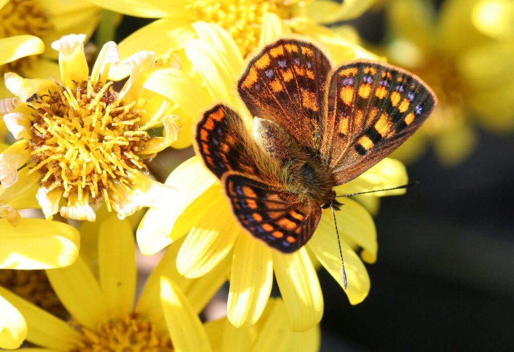 Glade Copper, Lycaena feredayi