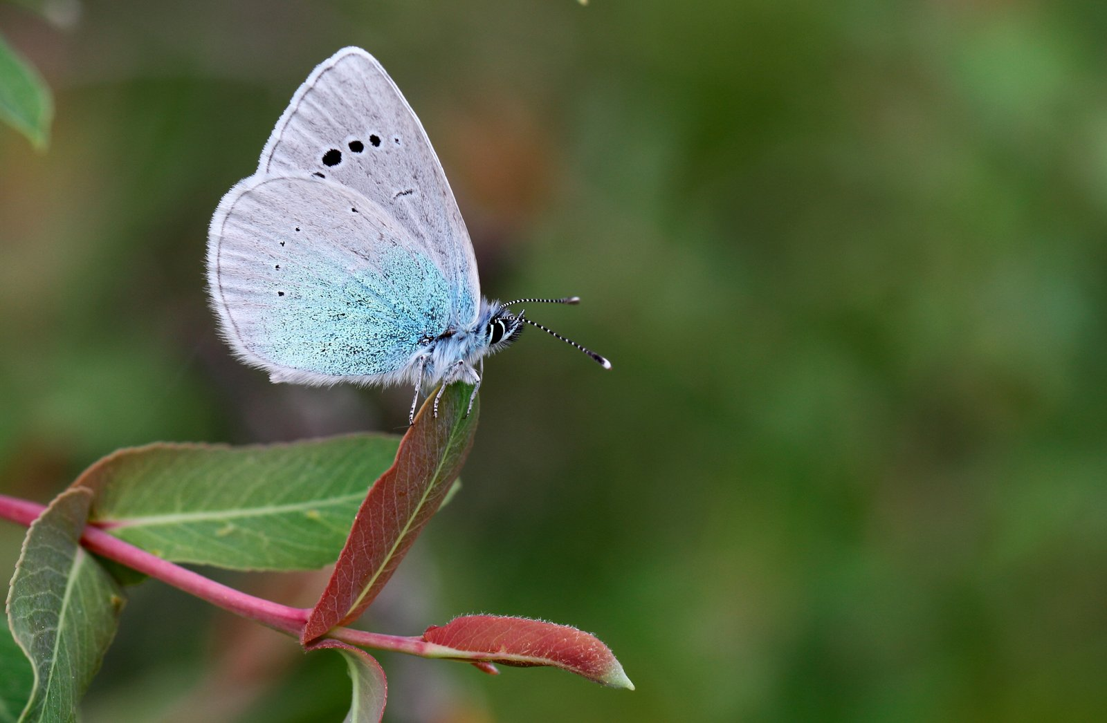 Kløverblåfugl, Glaucopsyche alexis