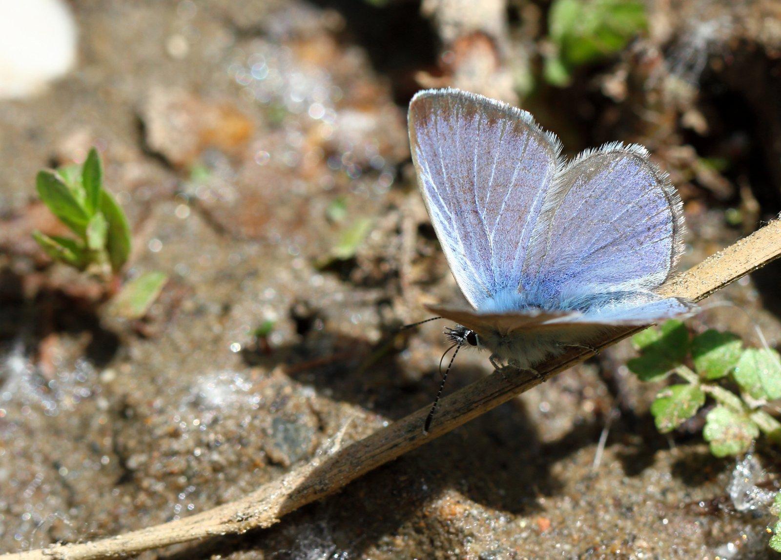 Sortøjet blåfugl, Glaucopsyche melanops