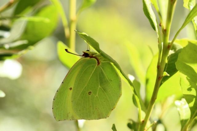 La Palma Citronsommerfugl, Gonepteryx palmae
