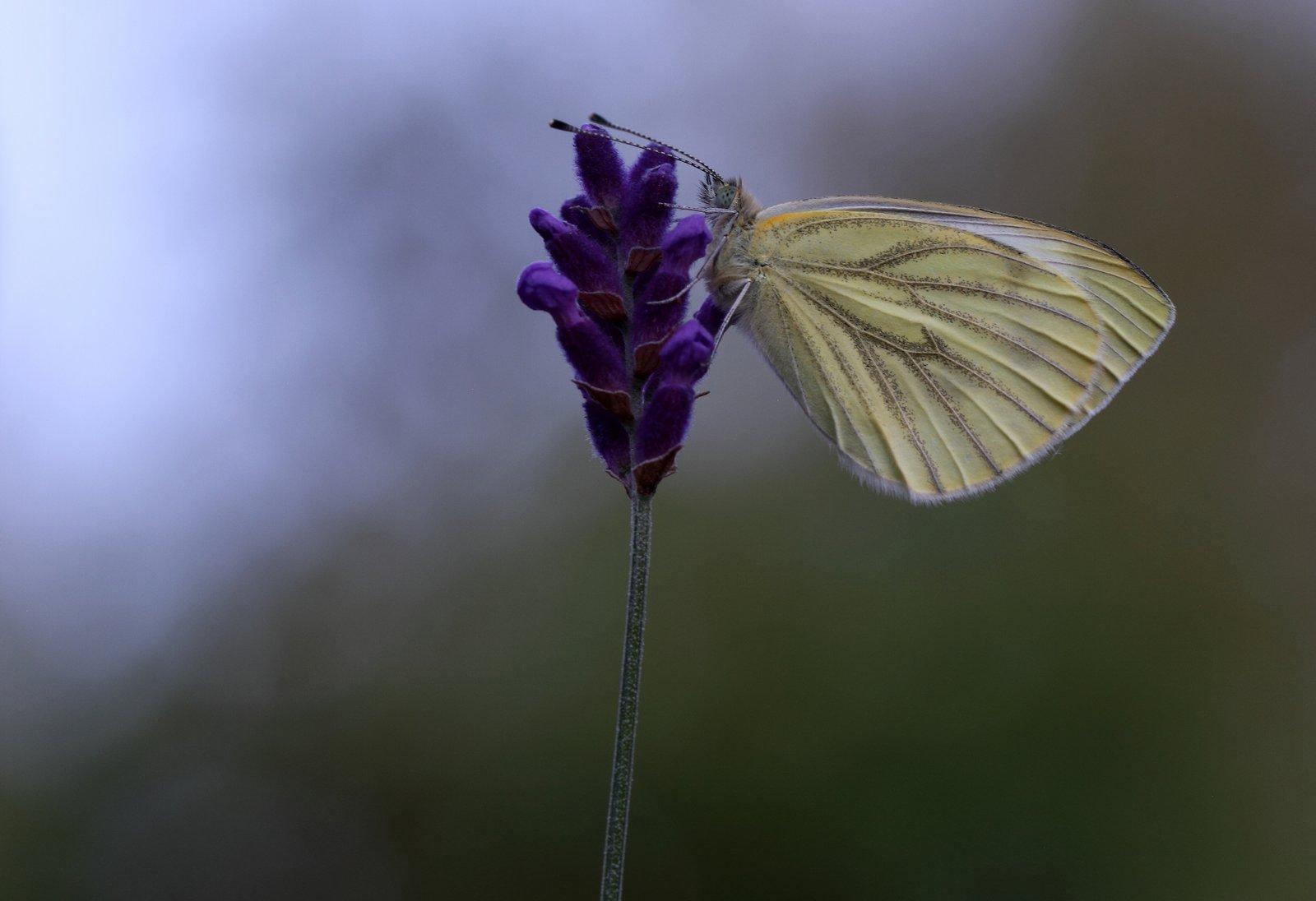 Grønåret kålsommerfugl, Pieris napi