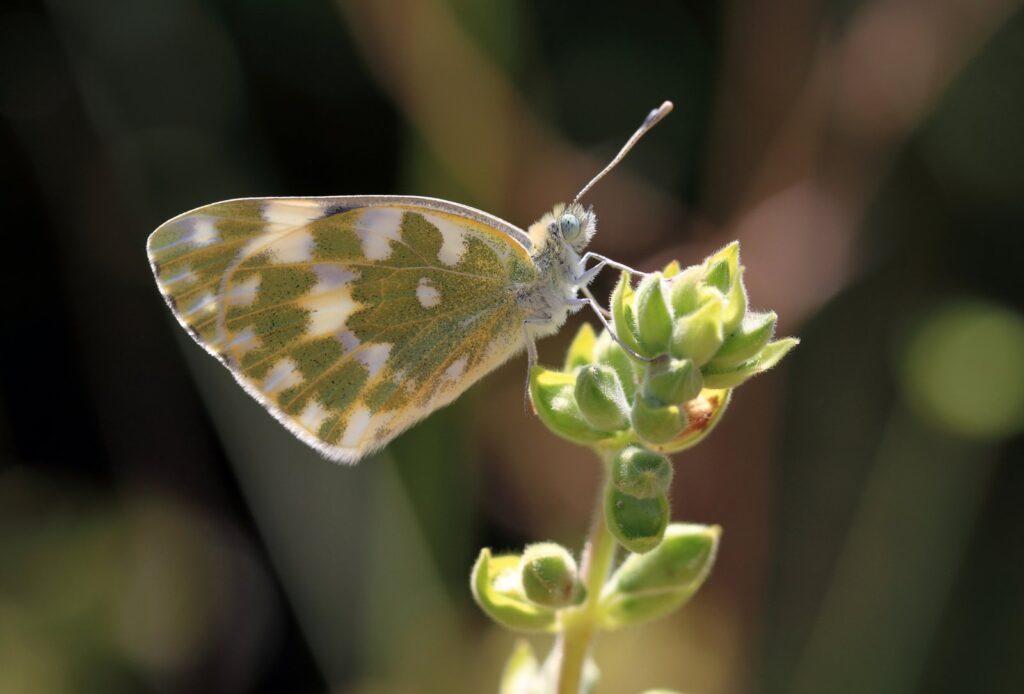 Østlig grønbroget kålsommerfugl, Pontia edusa