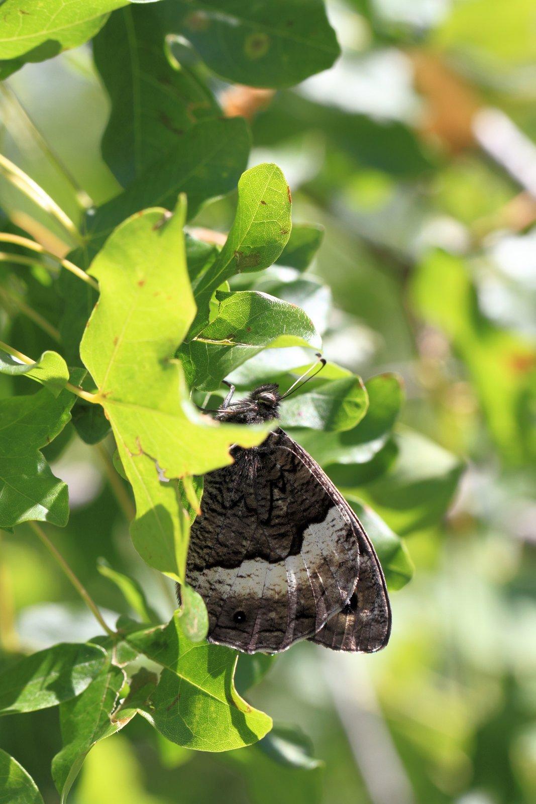 Skovlands klipperandøje, Hipparchia fagi