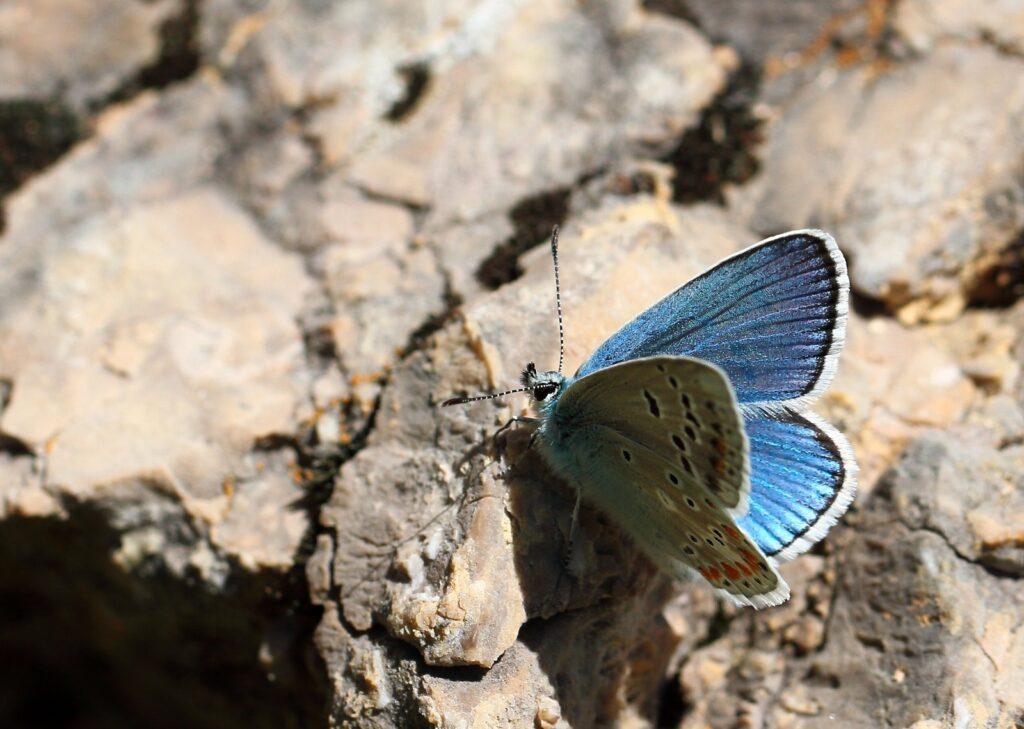 Hvidrandet blåfugl, Polyommatus dorylas