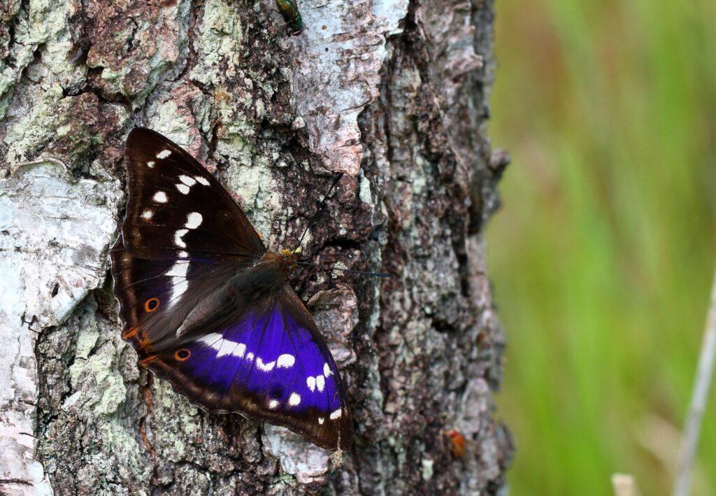 Iris, Apatura iris