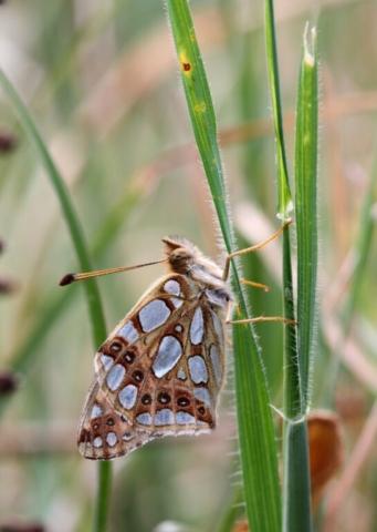 Storplettet perlemorsommerfugl, Issoria lathonia