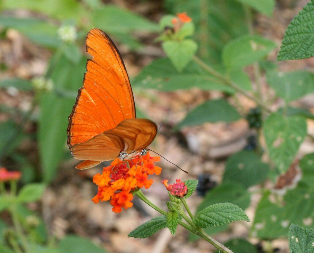 Julia longwing butterfly, Dryas Julia