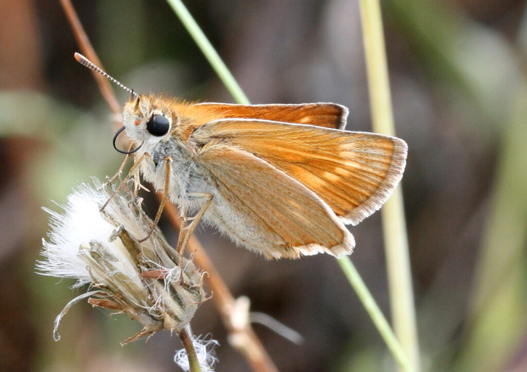 Kalkbredpande, Thymelicus acteon