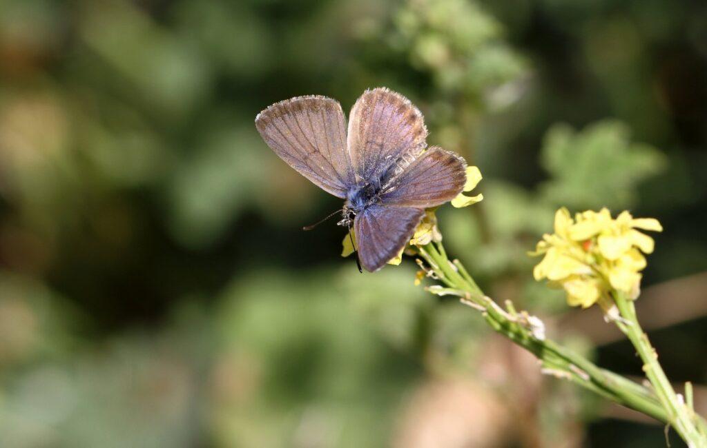 Kanarisk blåfugl, Cyclyrius webbianus