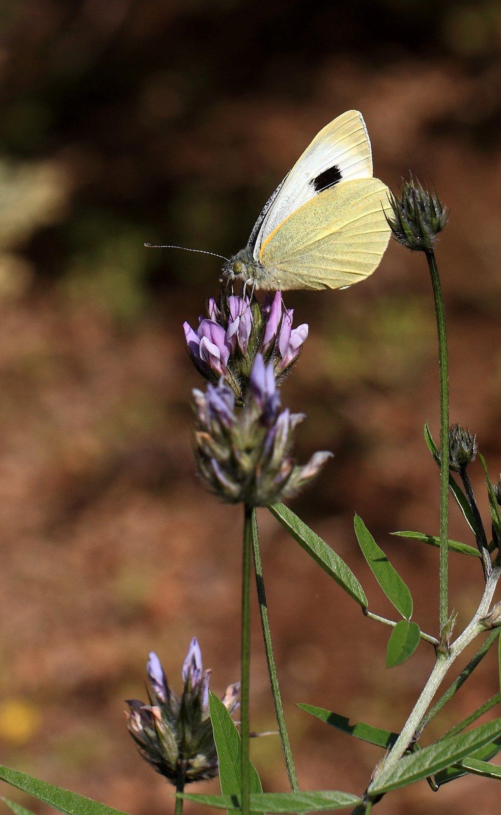Kanarisk kålsommerfugl, Pieris cheiranthi