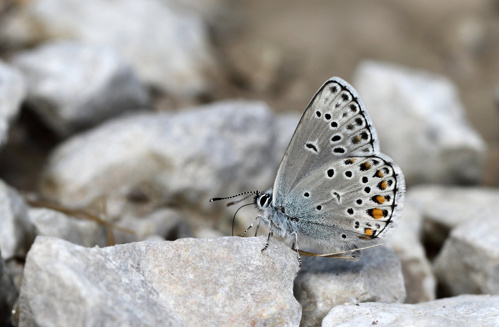 Safirblåfugl, Kretania sephirus