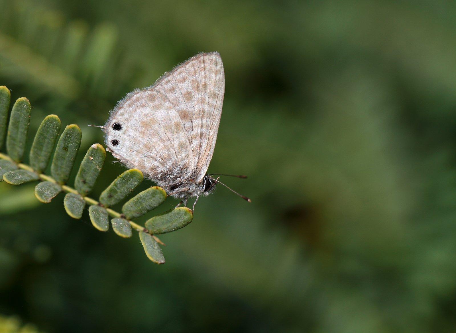 Lille vandreblåfugl, Leptotes pirithous