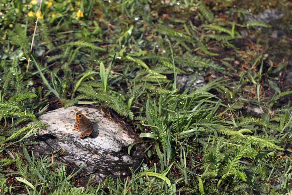 Bjerg-vejrandøje, Lasiommata petropolitana