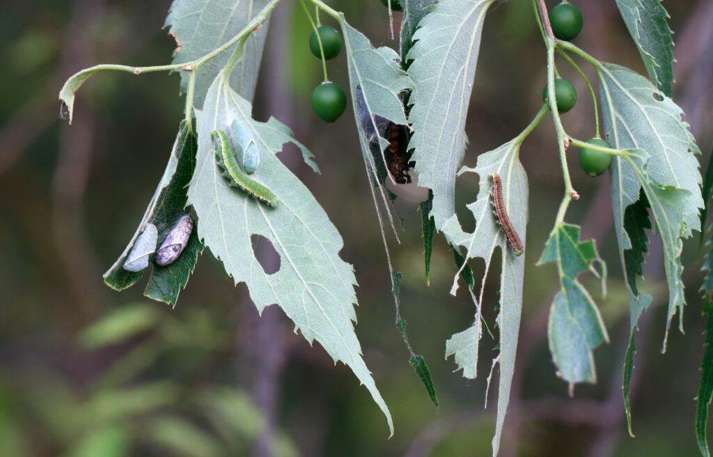 Snudesommerfugl, Libythea celtis