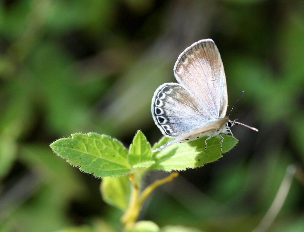Lime blue, Chilades lajus