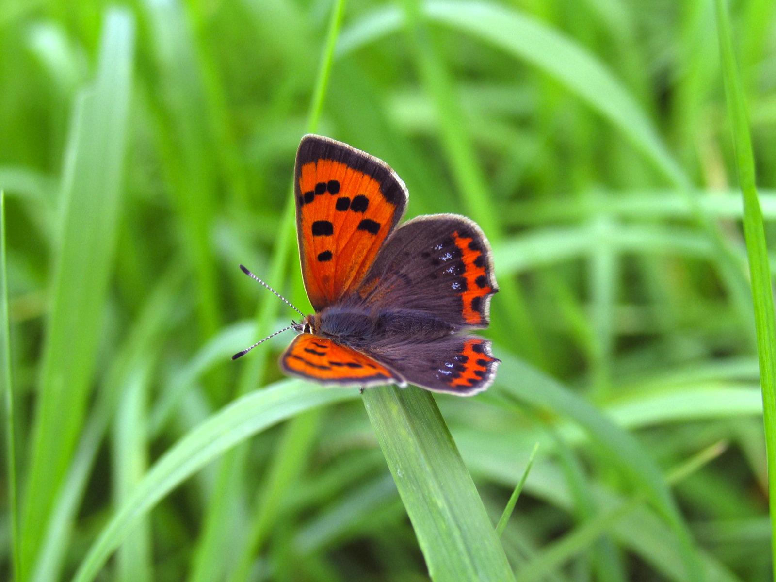 Lille ildfugl, Lycaena phlaeas