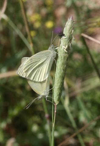 Lille kålsommerfugl, Pieris rapae