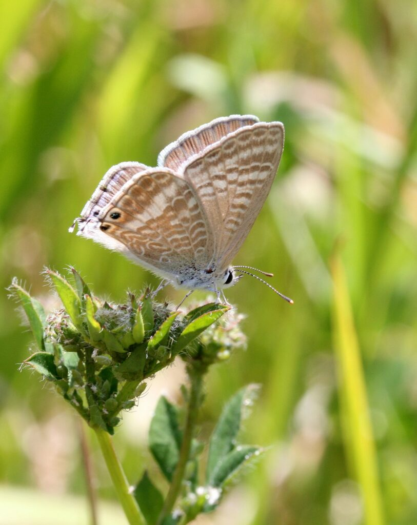 Long-tailed blue, Lampides boeticus