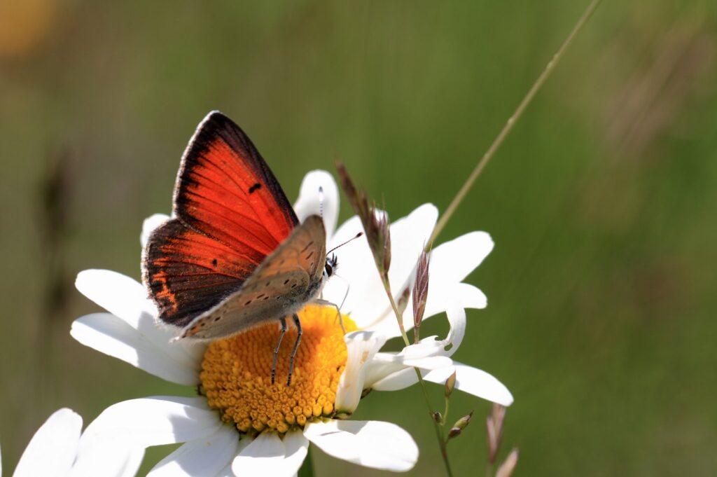 Balkan ildfugl, Lycaena candens