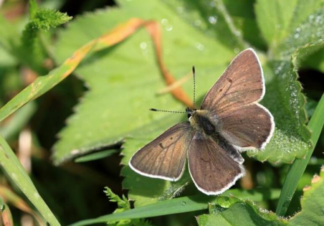 Sort ildfugl, Lycaena tityrus subalpinus