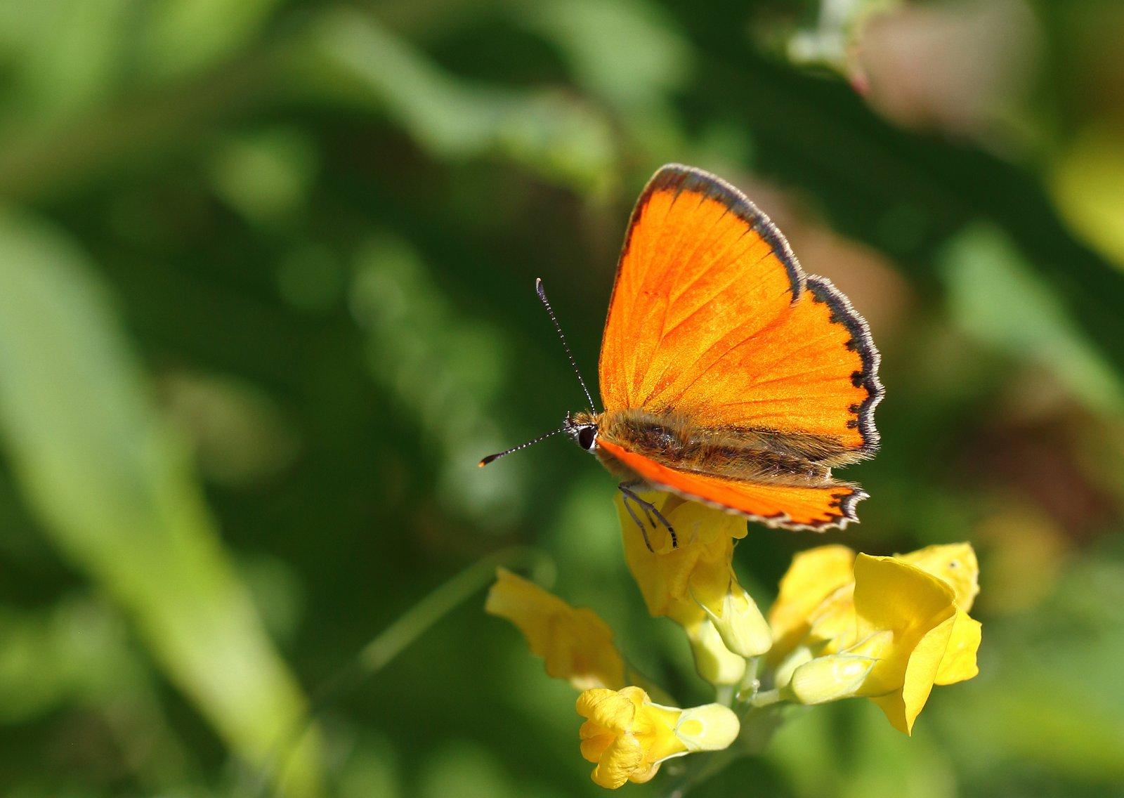 Dukatsommerfugl, Lycaena virgaureae