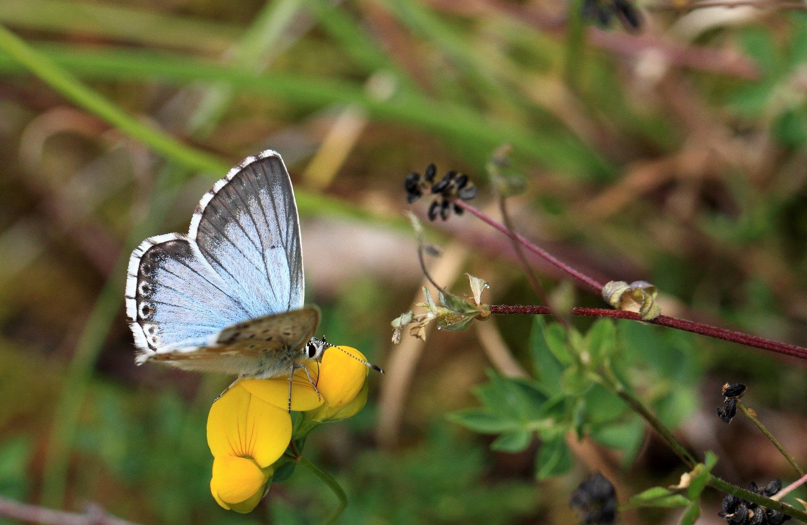 Sølvblåfugl, Lysandra coridon