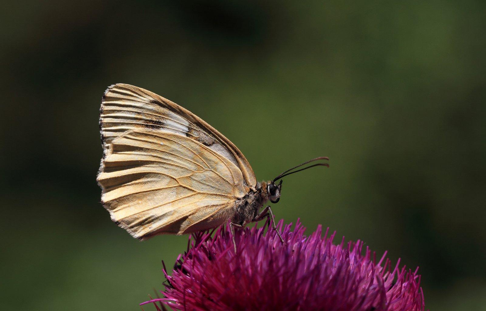 Skakbrætsommerfugl, Melanargia galathea