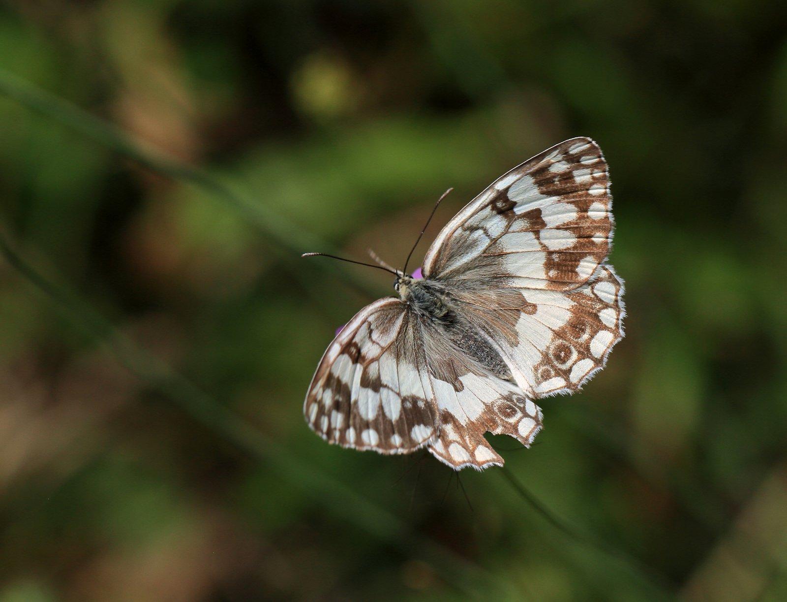 Balkan Skakbrætsommerfugl, Melanargia larissa