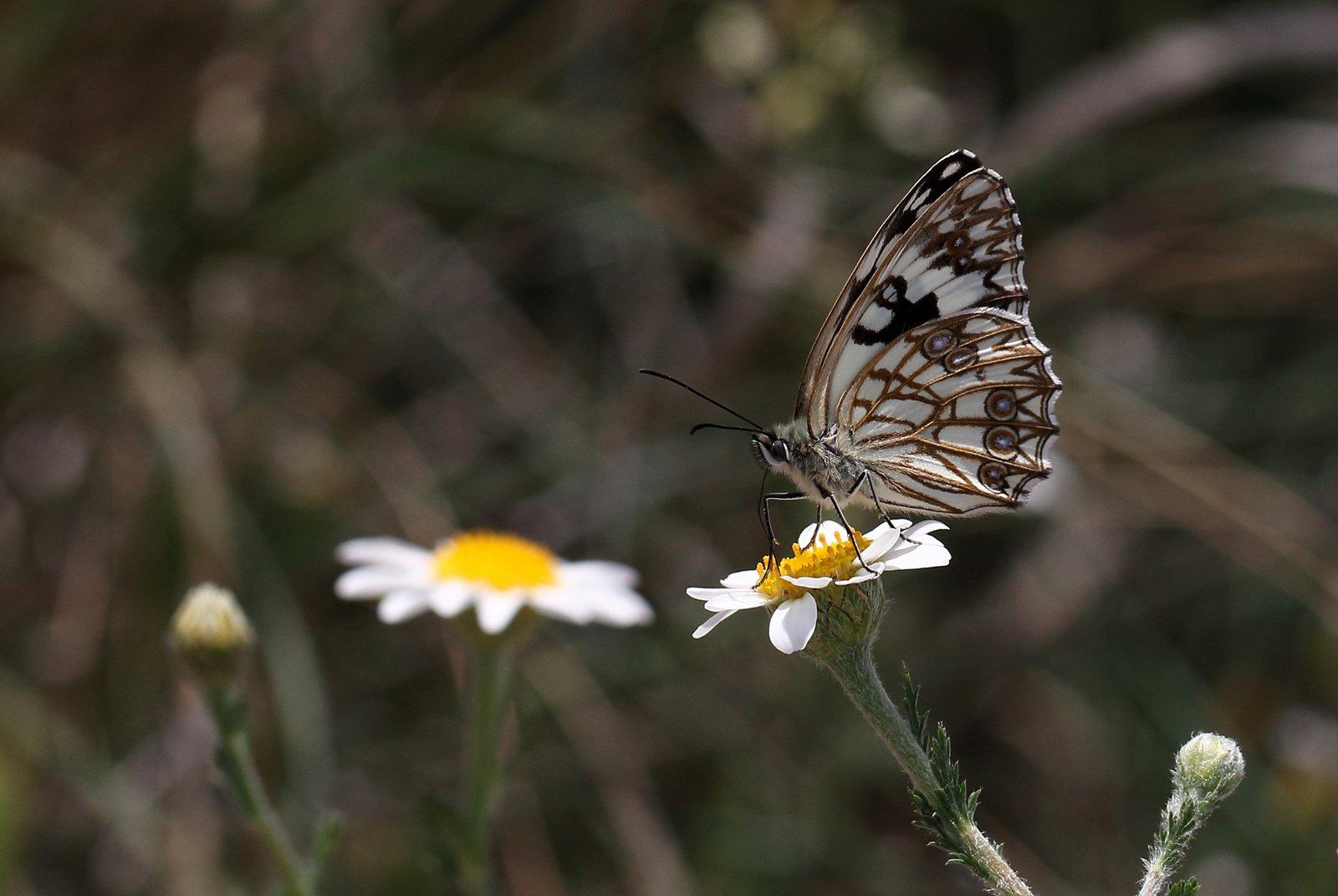 Middelhavs Skakbrætsommerfugl, Melanargia occitanica