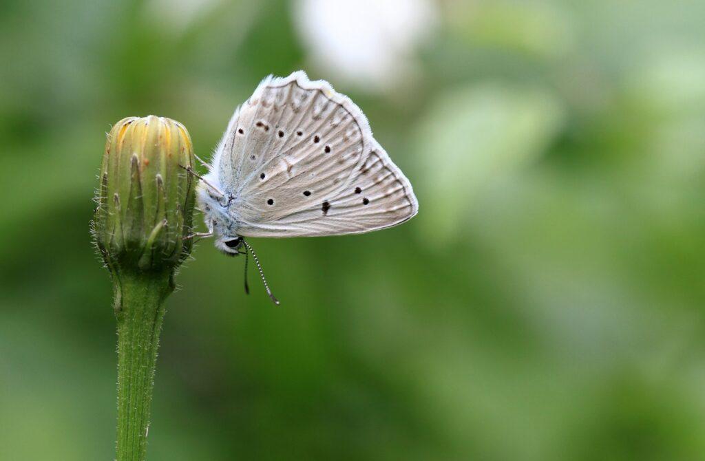 Meleagers blåfugl, Polyommatus daphnis