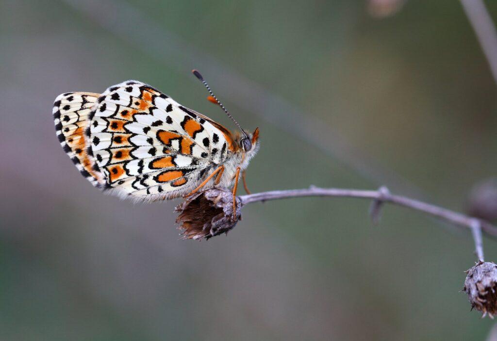 Okkergul pletvinge, Melitaea cinxia