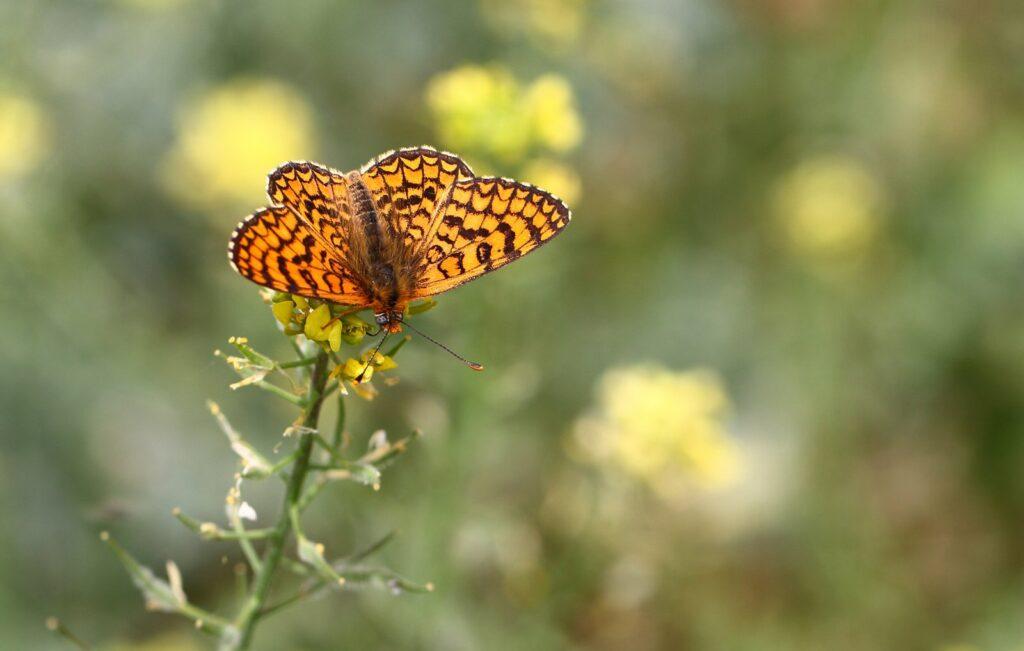 Provences pletvinge, Melitaea deione