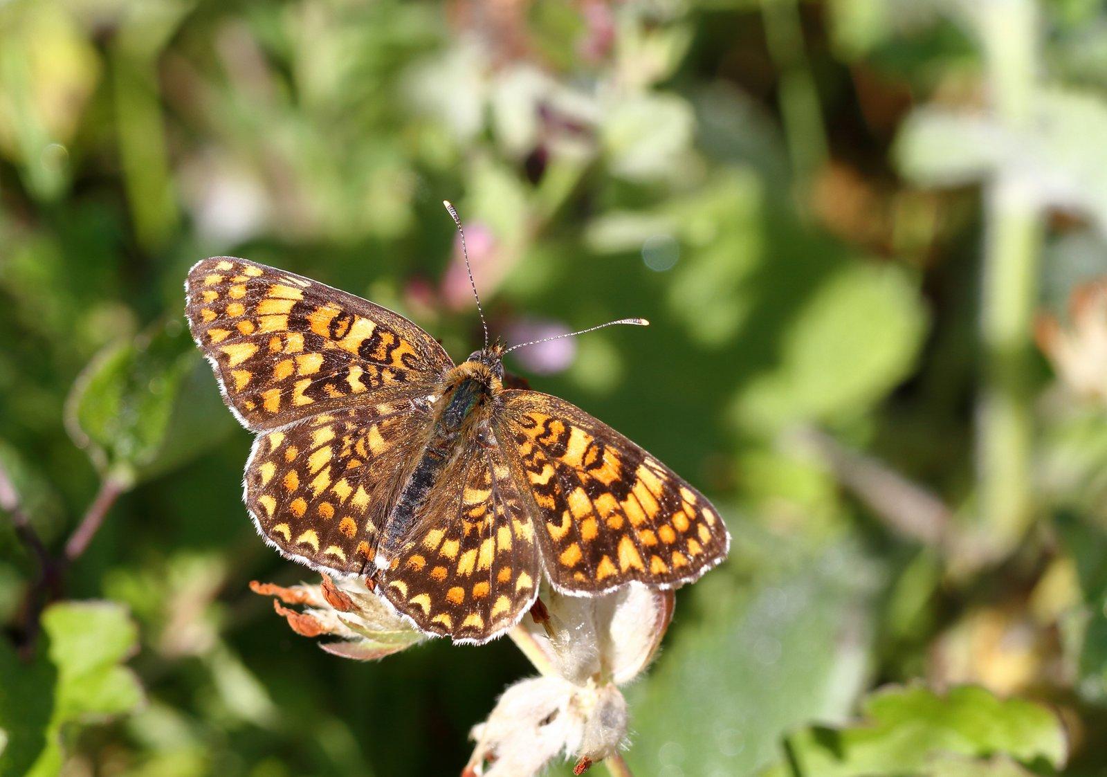 Torskemundpletvinge, Melitaea phoebe