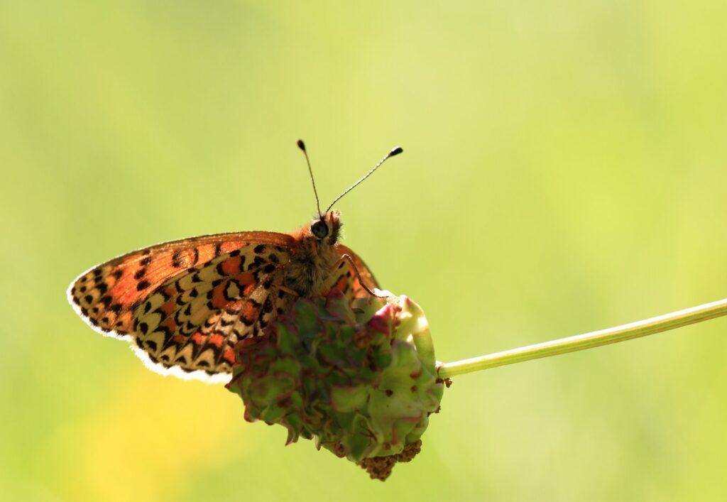 Lille rød pletvinge, Melitaea trivia