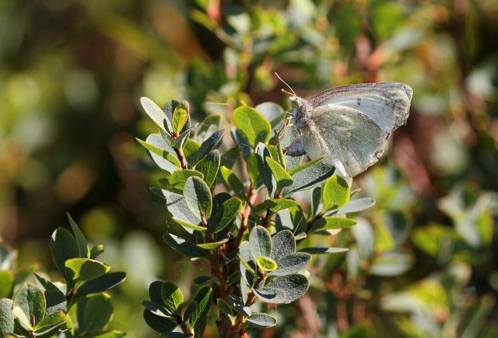 Mosehøsommerfugl, Colias palaeno