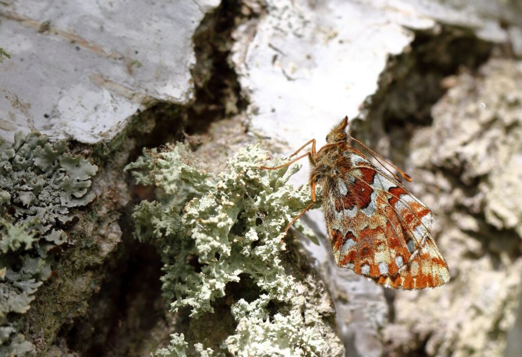Moseperlemorsommerfugl, Boloria aquilonaris