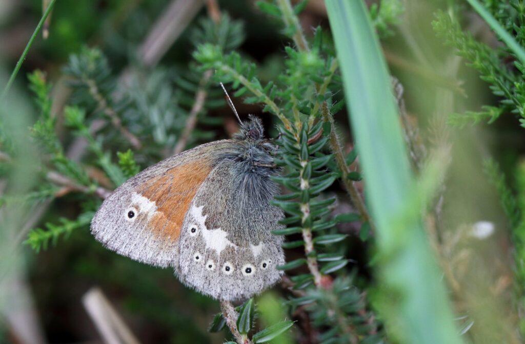 Moserandøje, Coenonympha tullia