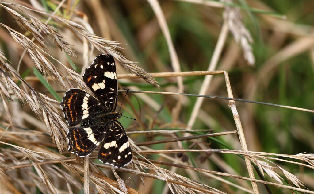 Nældesommerfugl, Araschnia levana