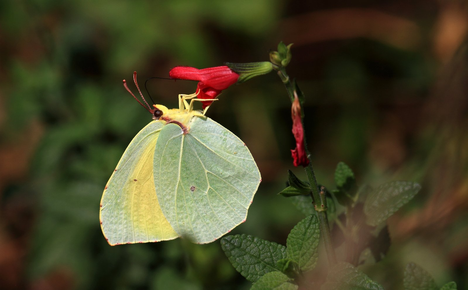 Orange citronsommerfugl, Gonepteryx Cleopatra