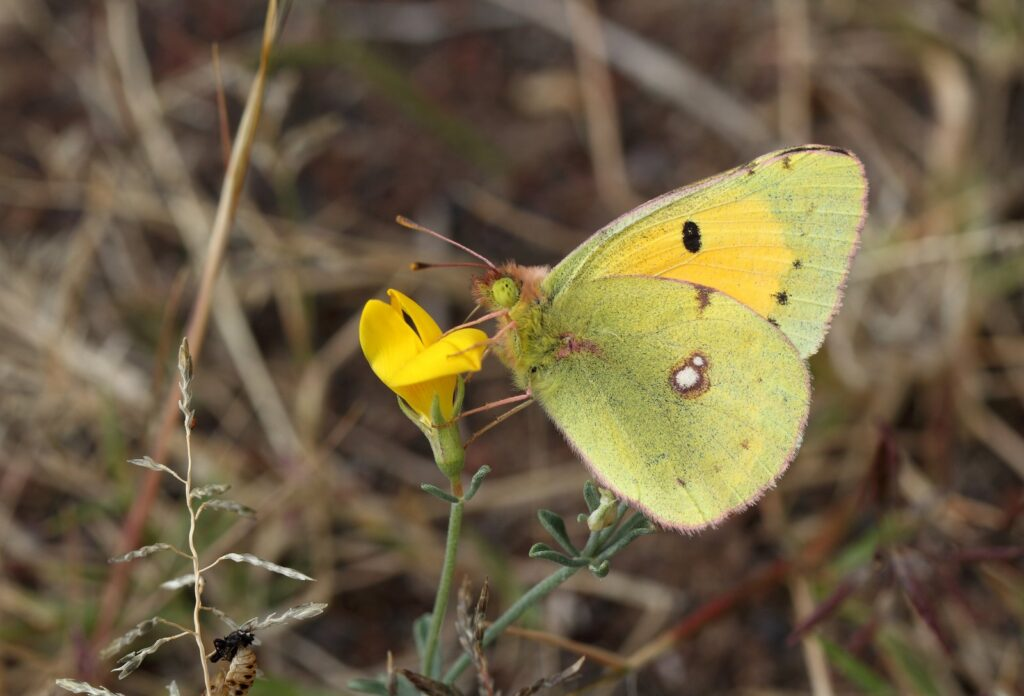 Orange høsommerfugl, Colias crocea