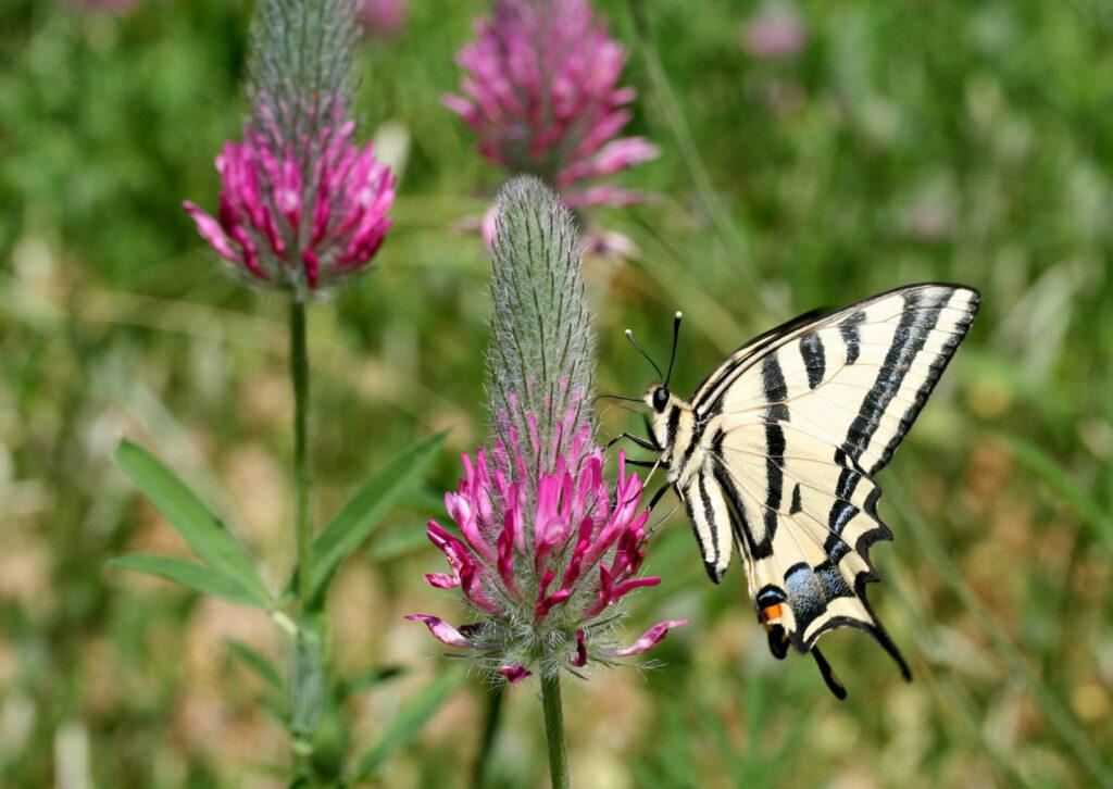 Alexanors svalehale, Papilio alexanor