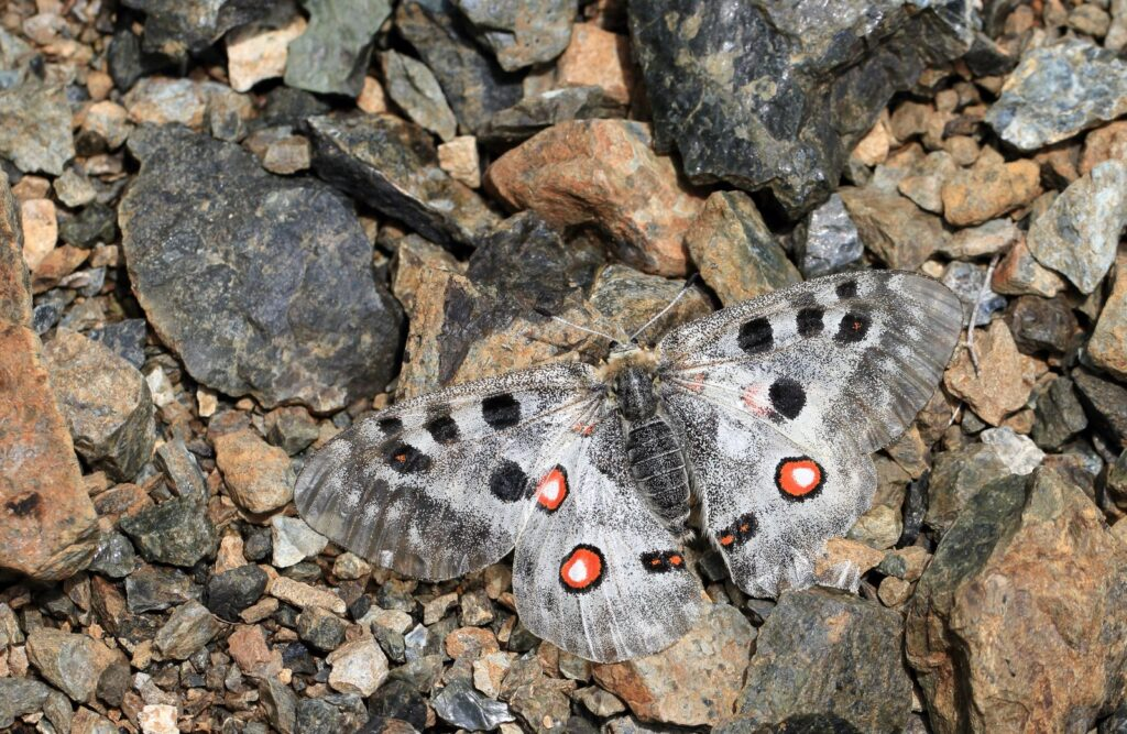 Apollo, Parnassius apollo