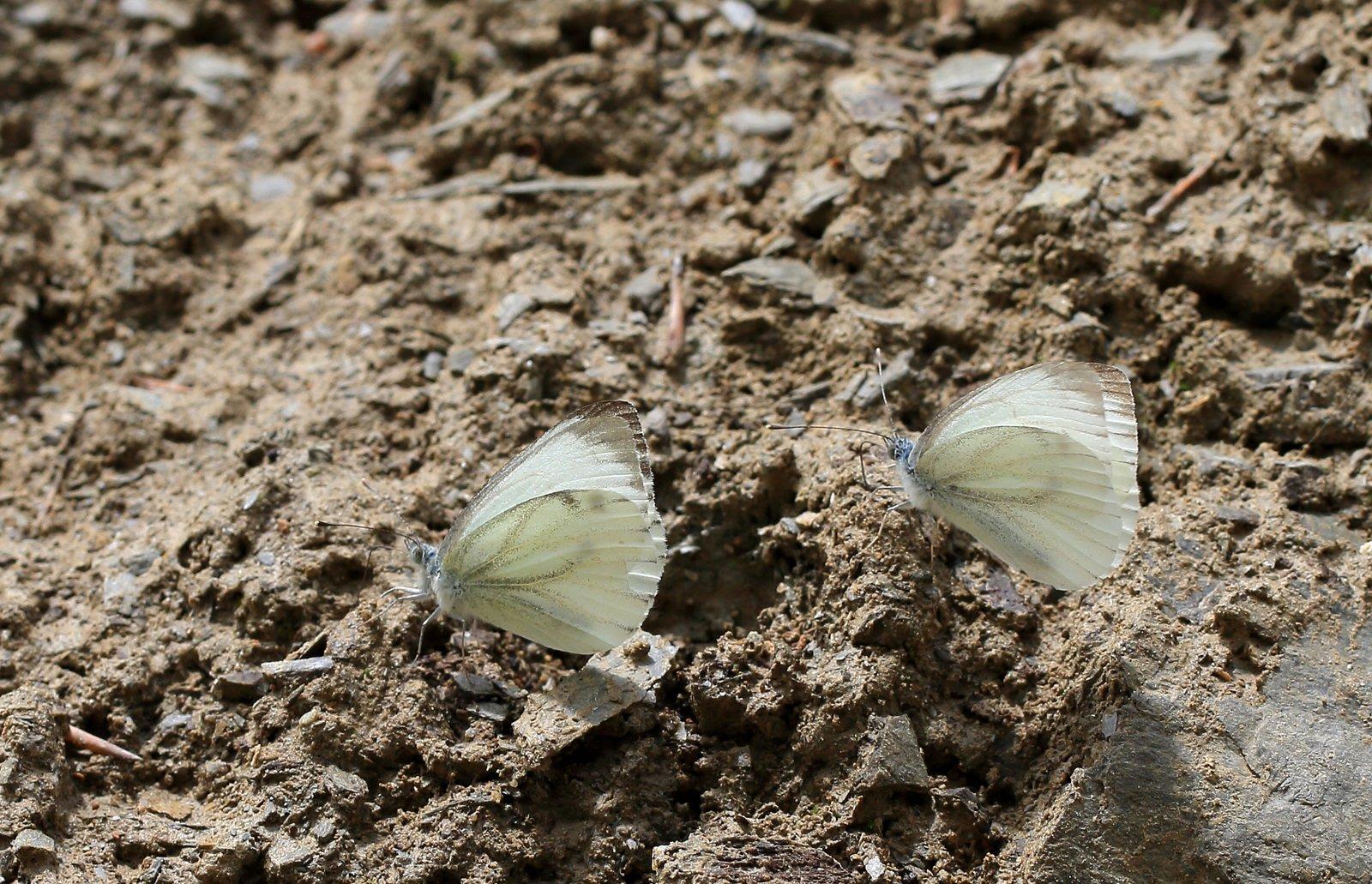 Balkan-Kålsommerfugl, Pieris balcana