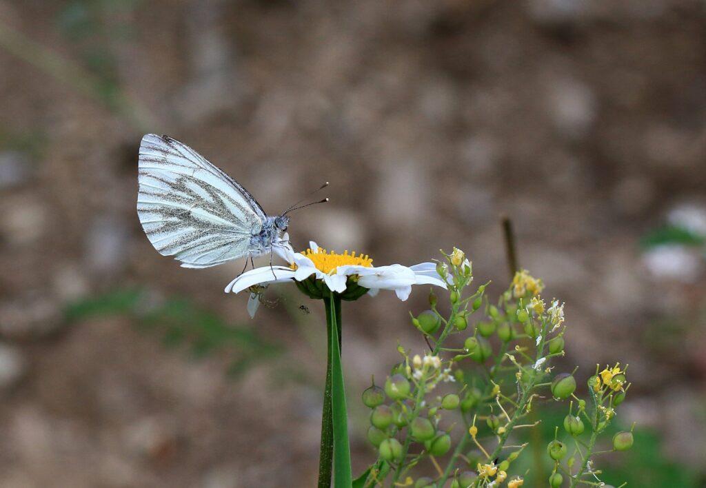 Balkan kålsommerfugl, Pieris balcana