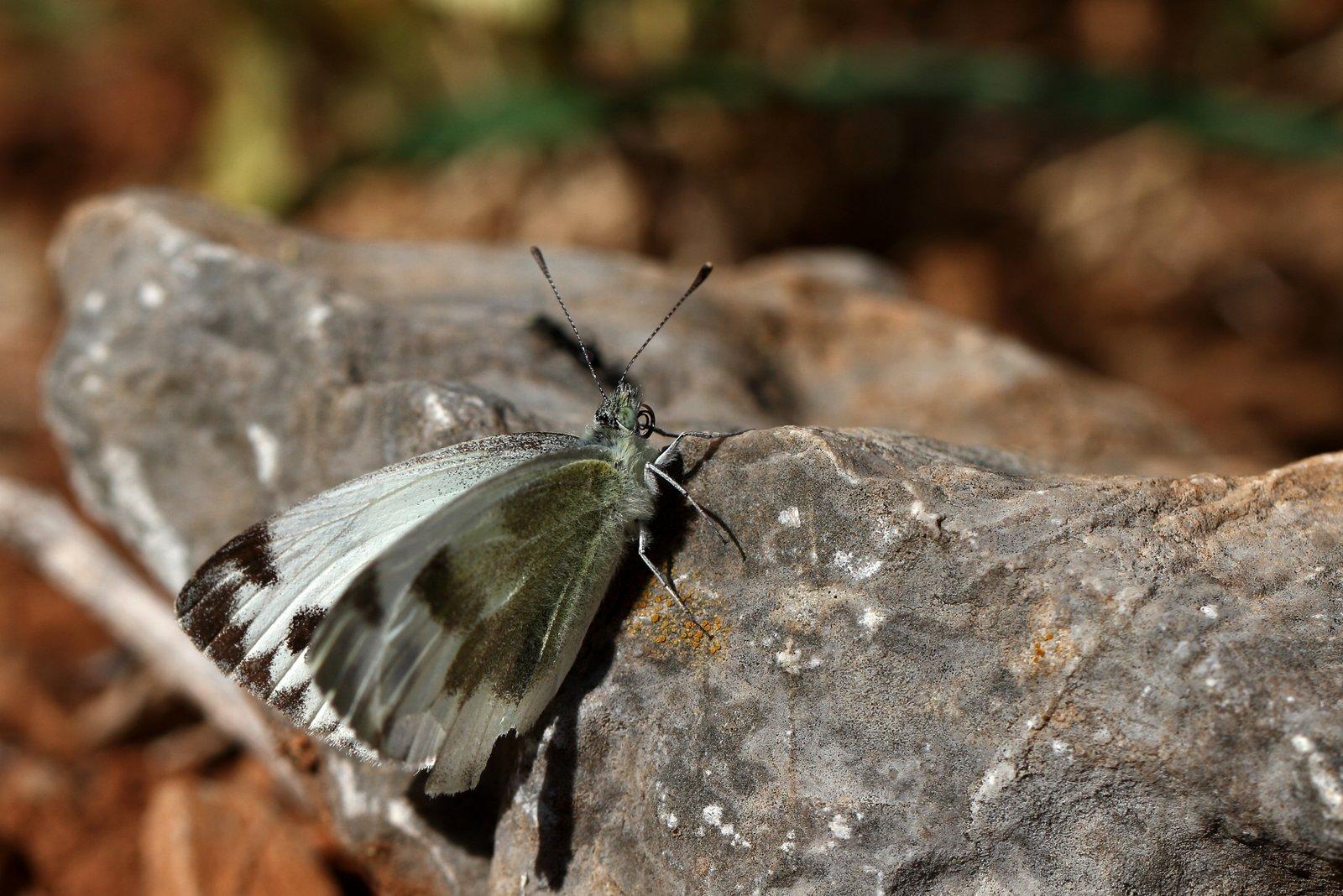 Østlig kålsommerfugl, Pieris krueperi