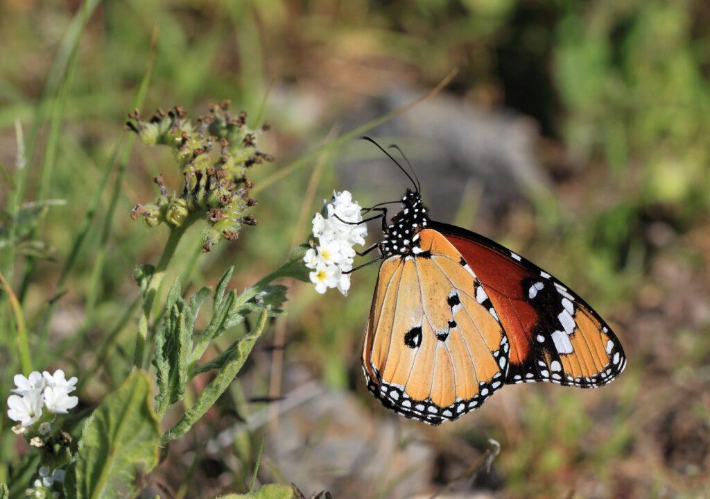 Tiger, Danaus chrysippus