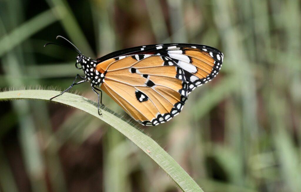 Plan Tiger, Danaus chrysippus